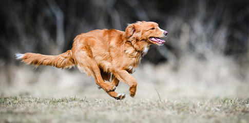 Nova Scotia Duck Tolling Retriever, Fast speed dog run side view. Beauitful dogs jump banner or panorama.