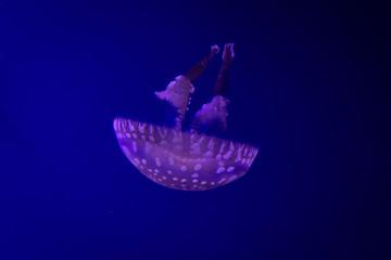 幻想的な雰囲気のタコクラゲの写真 ブルーの写真 水族館  Photos of fantastic jellyfish
