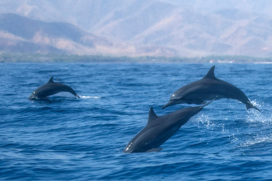 Spinner Dolphins jumping out of water