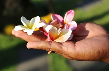 Zelfklevend Fotobehang Frangipani Flowers frangipani plumeria in the hand gardener from the island of Bali Indonesia