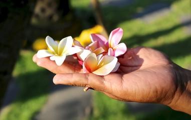 Tuinposter Frangipani Flowers frangipani plumeria in the hand gardener from the island of Bali Indonesia