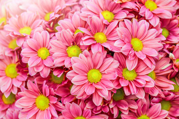 Wall Murals Candy pink Pink and yellow daisies flower bunch. Bouquets of blossom rainbow Chrysanthemum floral. Violet colored daisy flowers with sun light in background.