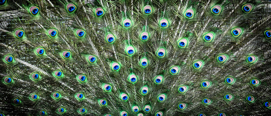 Fotobehang Pauw Peacocks pattern or texture. Colorful and Artistic peacock feathers banner or panorama..