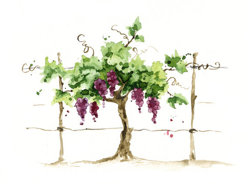 Vineyard / Grape on the trellis, watercolor illustration