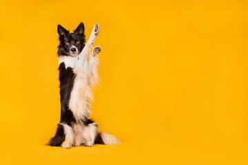 Black and white border collie dog on yellow background
