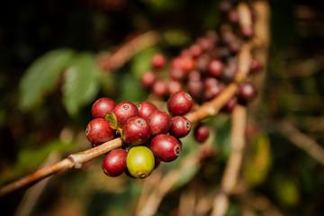 fresh cherry coffee bean on tree branch