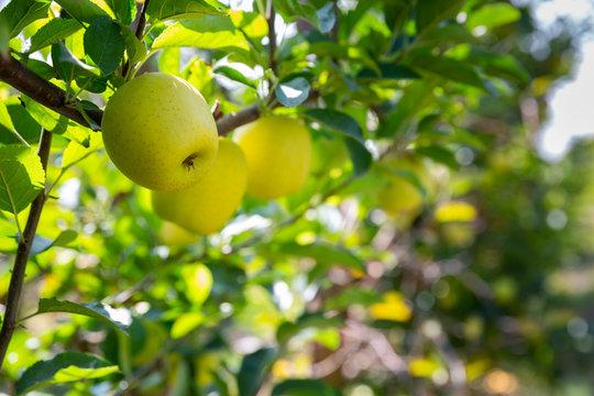 Ripe yellow apples on tree brunch