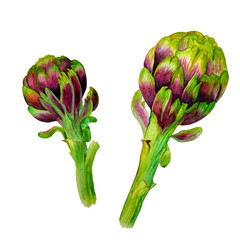Watercolored hand drawn  artichokes.  Isolate illustration on white background. Botanical picture.