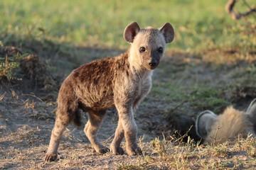 Garden Poster Hyena Spotted hyena cub.