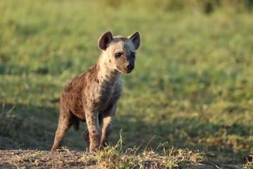 Fotobehang Hyena Spotted hyena cub.