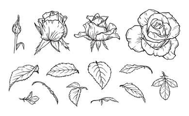 Vector Flowers and Leaves set. Hand drawn Rose Flower bud and Leaf Sketch. Elements of roses isolated on white background