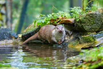 Hungry otter at feeding by the water.