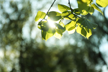 Tree branches with green leaves on sunny day Fototapete