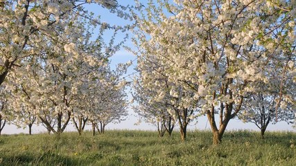 Wall Mural - Gorgeous lush cherry flowers in sunlight against blue sky.