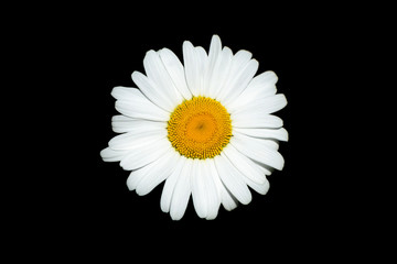 Neat beautiful daisy on the black background. Chamomile or camomile flower close-up isolated, top view. Plant landscape.