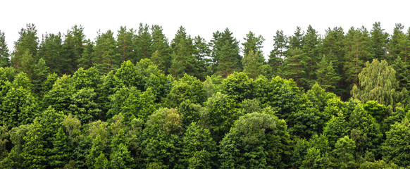 Lush green forest on the horizon is isolated. The edge of a forest with deciduous and coniferous trees, natural background.