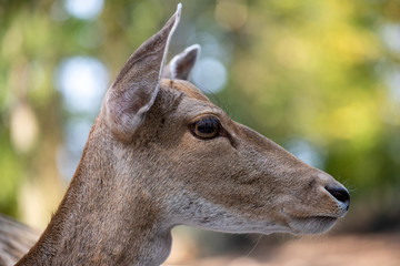 Close-up portrait of female fallow deer (dama, dama) in the forest