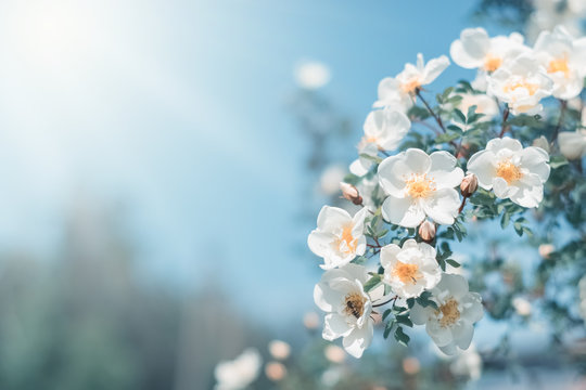 White bush roses on a background of blue sky in the sunlight. Beautiful spring or summer floral background.