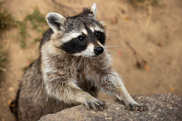Portrait of young common raccoon