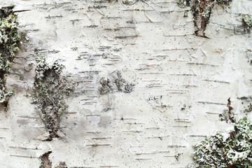 White birch tree bark with lichen growing on it
