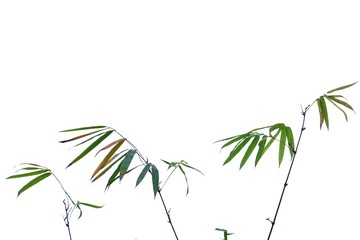 Asian bamboo plant with leaves branches on white isolated background for green foliage backdrop