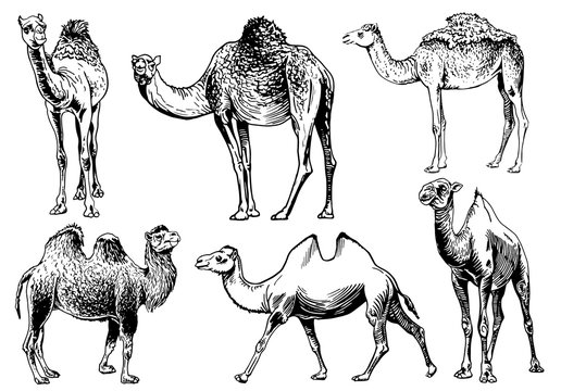 Graphical set of camels isolated on white background,vector sketchy illustration