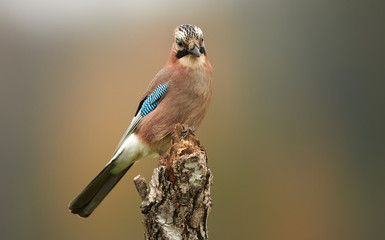 Papiers peints Oiseau Eurasian jay (Garrulus glandarius) close up