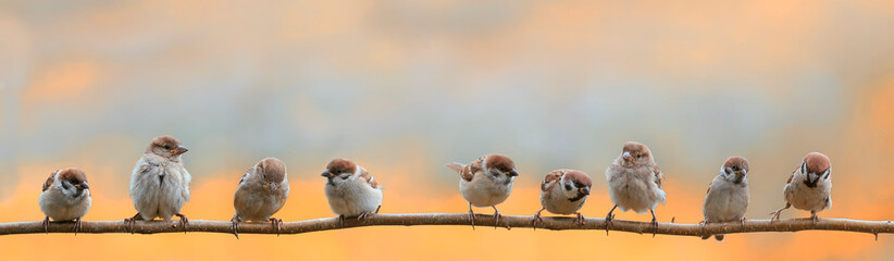 Wall Mural - panoramic portrait of small funny birds sparrows restlessly sitting on a tree branch in a Sunny clear Park