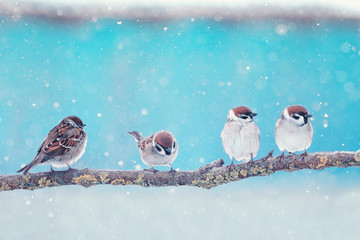Wall Mural - holiday card with four little funny Sparrow birds sitting in winter festive new year Park under snowfall