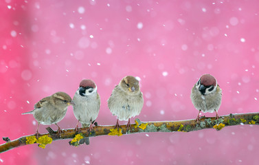 Fototapete - holiday card with four little funny Sparrow birds sitting in winter festive new year Park under snowfall