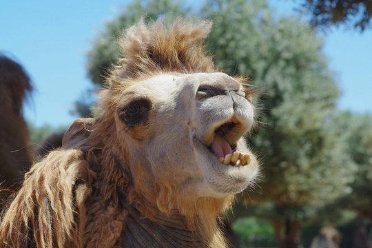 laughing camel  head zoo safari