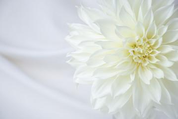 close up of a single white dahlia flower