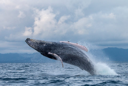 Yubarta or humpback whales (Megaptera novaeangliae) jump out of the water off the coast of Colombia