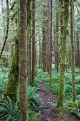 forest of redwood trees