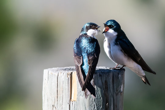 Two Tree Swallows Arguing While Perched on an Old Weathered Wooden Fence Post