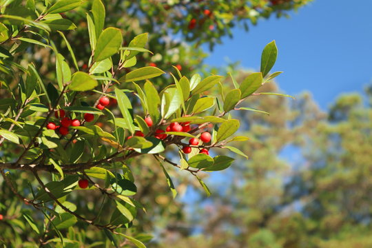 Red Berries on a Green Tree on a Sunny Day