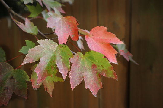 Autumn Leaves against a Fence
