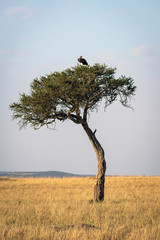 Acacia tree sitting in the middle of an empty savanna, with a blue sky and vulture sitting at the top.  Image taken in the Masai Mara, Kenya.