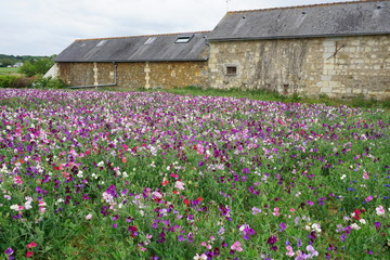 field od colorful sweet peas by an old stone barn