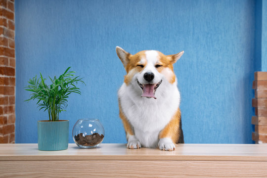 Cute ginger and white dog of welsh corgi pembroke breed sits on the desk of reception.