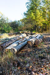Fototapeta Autumn season with sunlight. Colorful trees and fallen leaves in autumn forest. Sawing woods in forest.