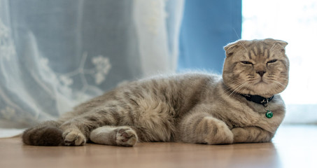 The British Shorthair cat cute happy to play pet animal relax sleeps