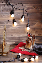 Studio photo of cute dog Yorkshire Terrier