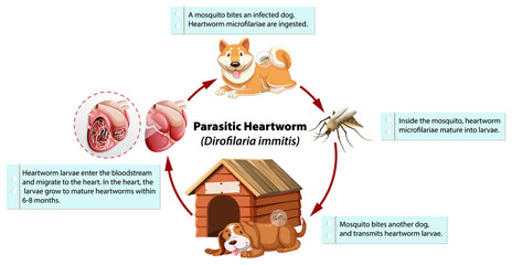 Diagram showing parasitic heartworm in dog