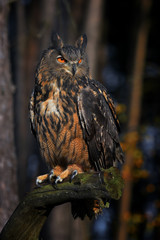 Eurasian Eagle Owl (Bubo bubo) in forest, night.