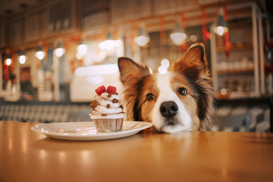 adorable border collie dog begging for a cupcake in a cafe