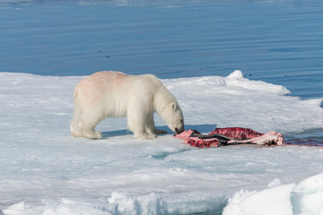 Two wild polar bears eating killed seal on the pack ice north of Spitsbergen Island, Svalbard