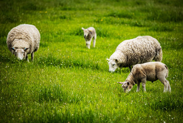 Papiers peints Sheep Scenic Scotland meadows with sheep in traditional landscape.