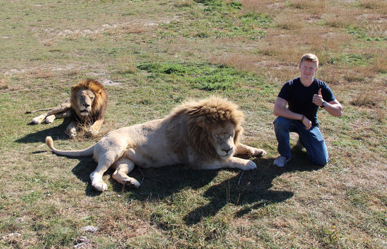A red-haired man sits and gives thumbs up next to two lying adult lions on a field with dried grass in some places. The theme of the friendship of man and animal.