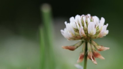 Fototapete - Wildlife macro. White clover flower grows on a green field close-up. Blurred background. Landscape, nature, summer.